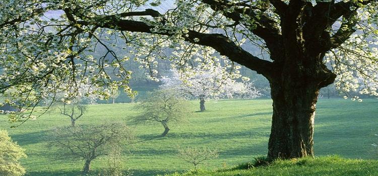 Pohon Kayu Cherry