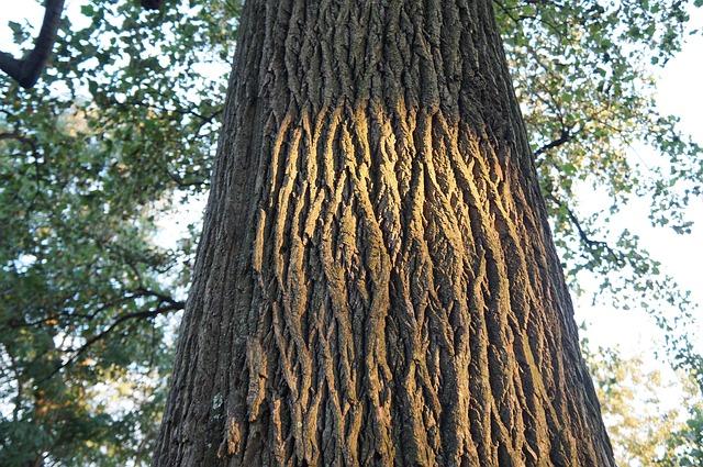 kayu surian